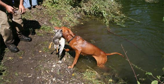 Préparation des chiens de chasse - Kogenheim