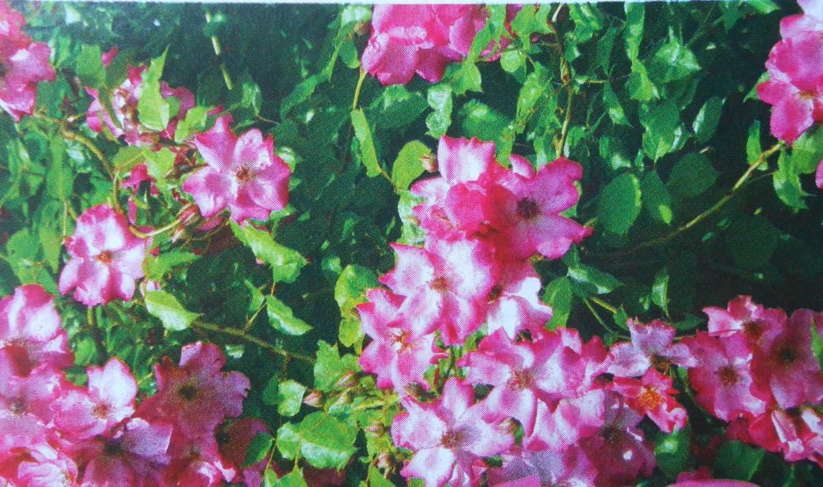 Roville rosier liane3
