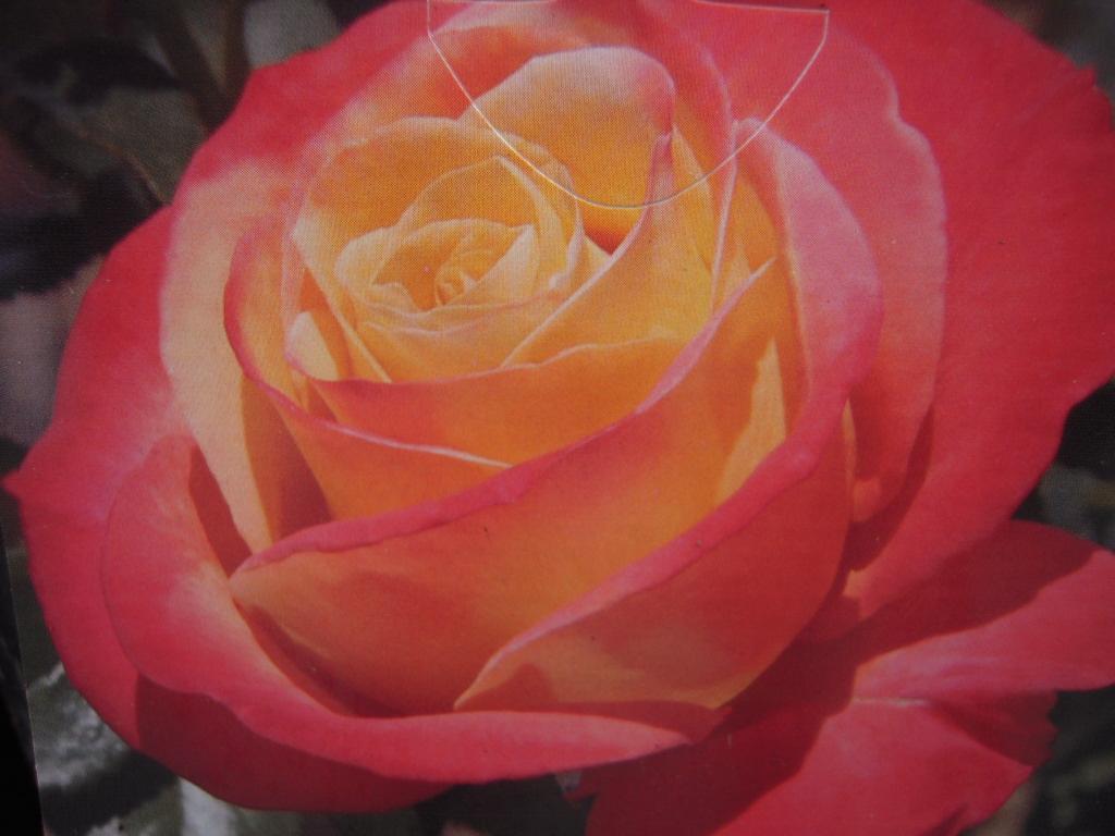 Vendée Impériale rosier buisson3