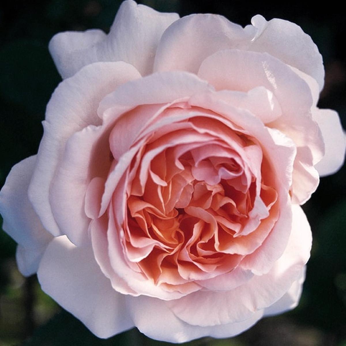 André Lenotre rosier buisson