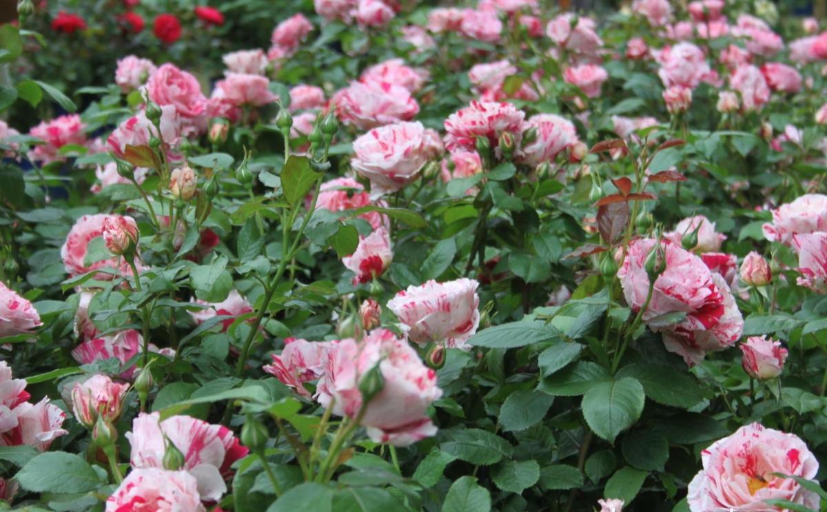 Scentimental rosier buisson3
