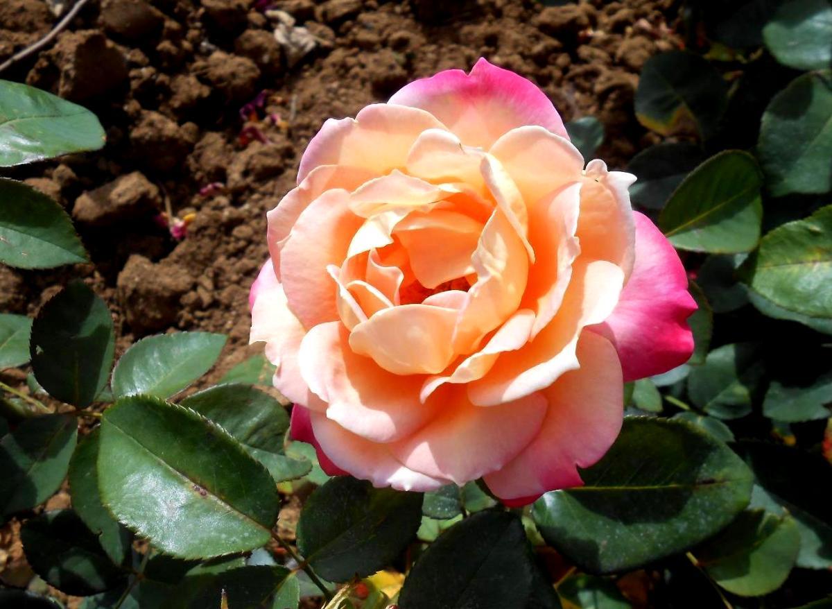 Sambala rosier buisson