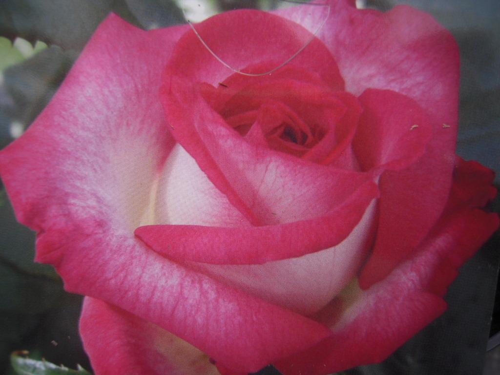Pascal Sevran rosier buisson