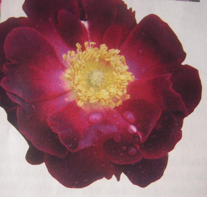 La Belle Sultane rosier ancien