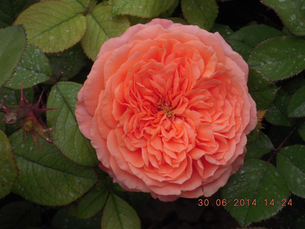 Amour de Molène rosier buisson