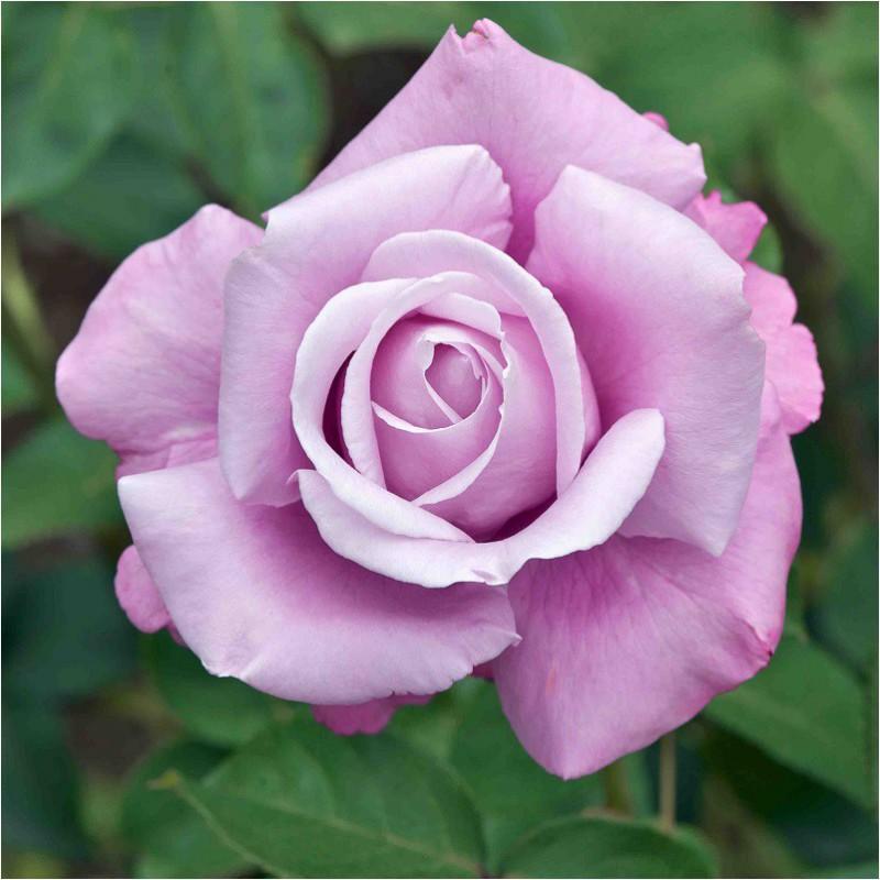 Charles de Gaulle rosier buisson