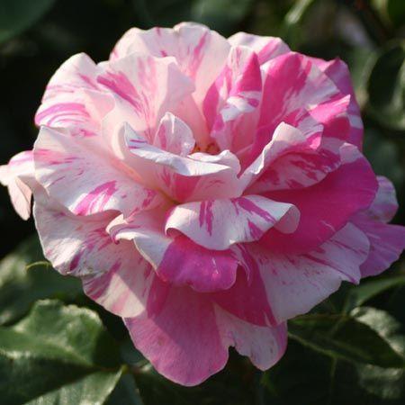 Berlingot rosier buisson