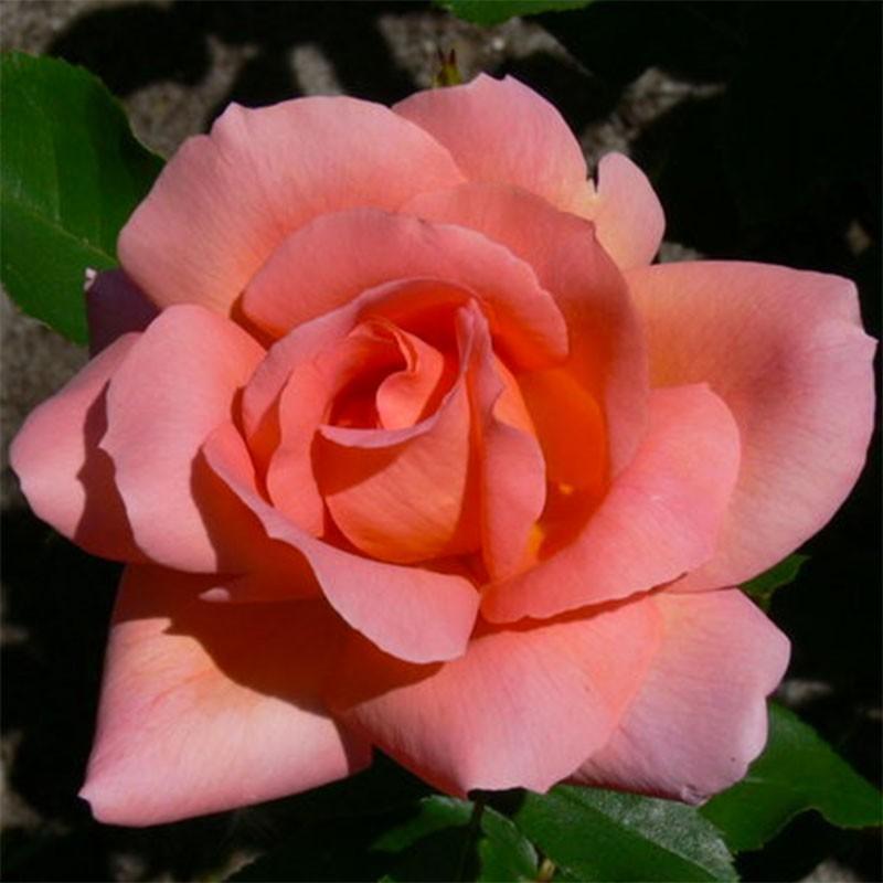 Zambra rosier buisson
