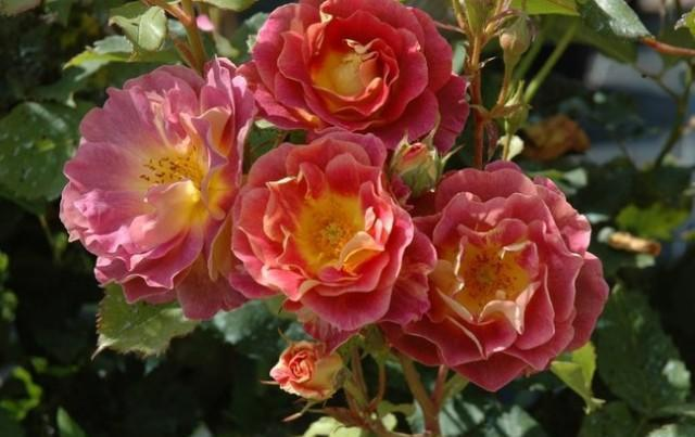 Prieuré de Saint Cosmes rosier arbustif