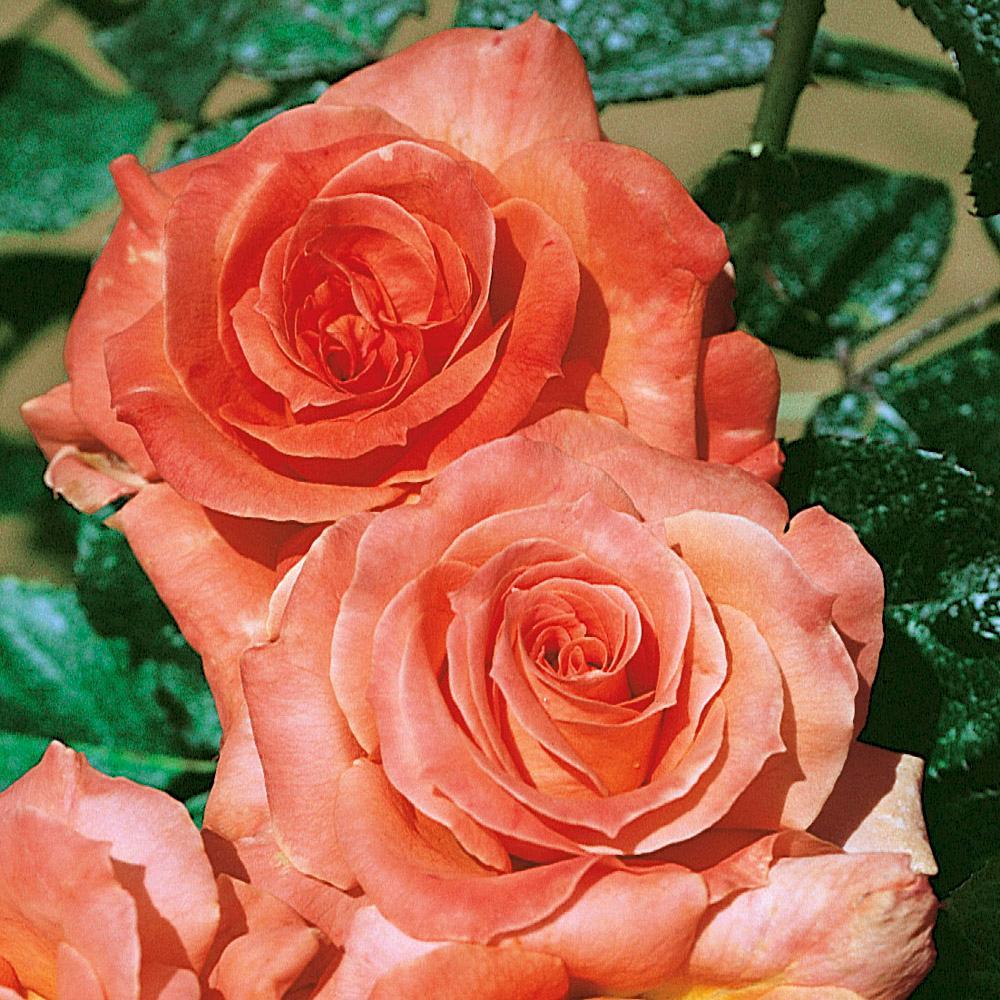 Grenadine rosier buisson