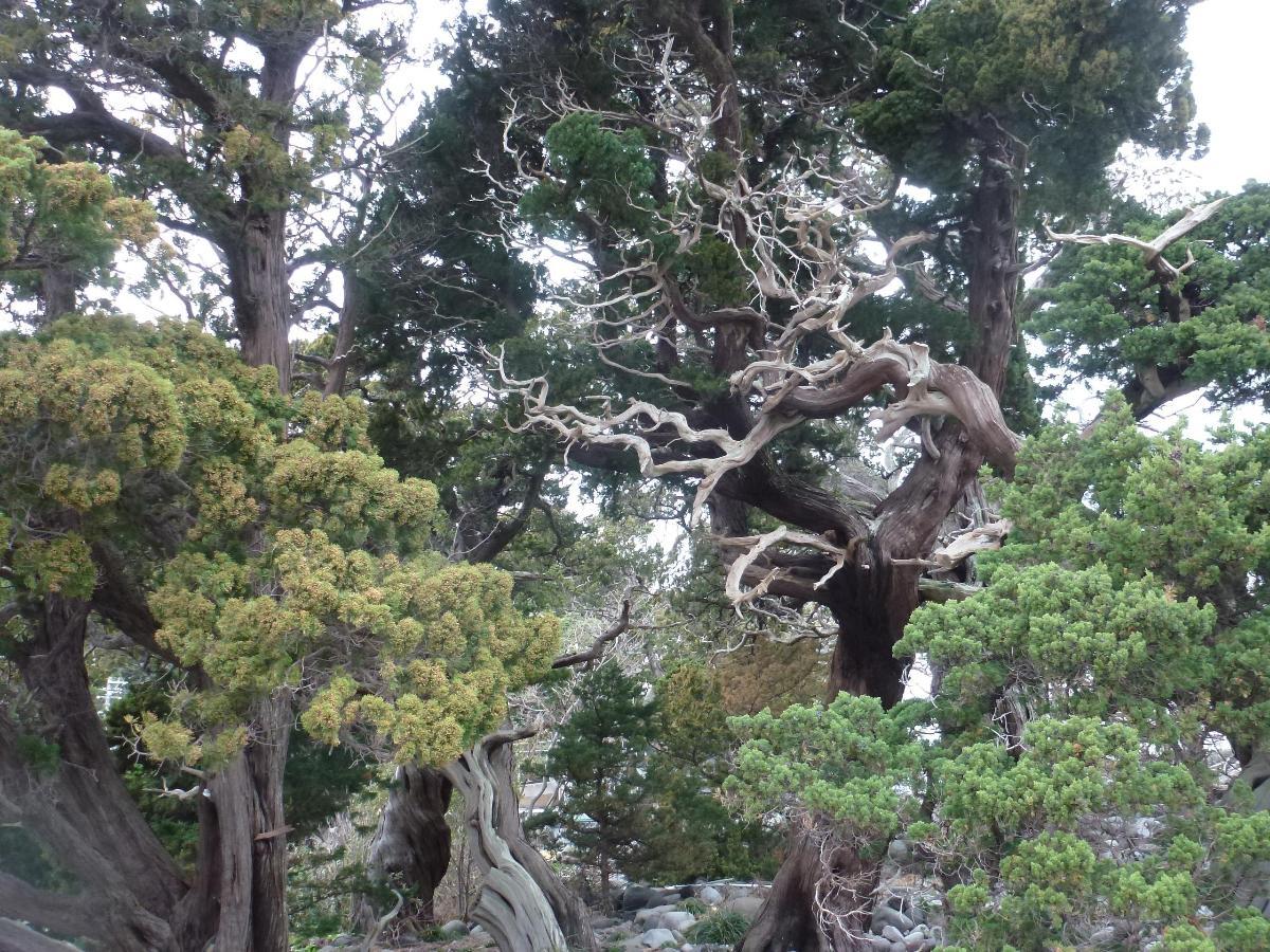 Juniperus millénaires a Numazu