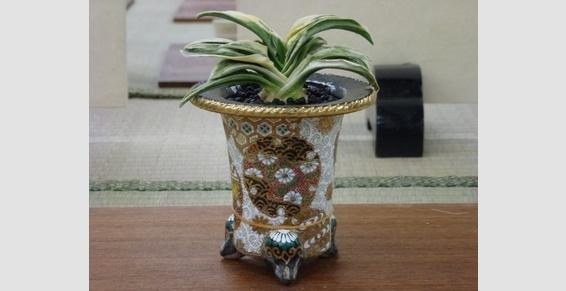 Rohdea japonica :Omoto et Nishiki Bachi Bonsai Barber