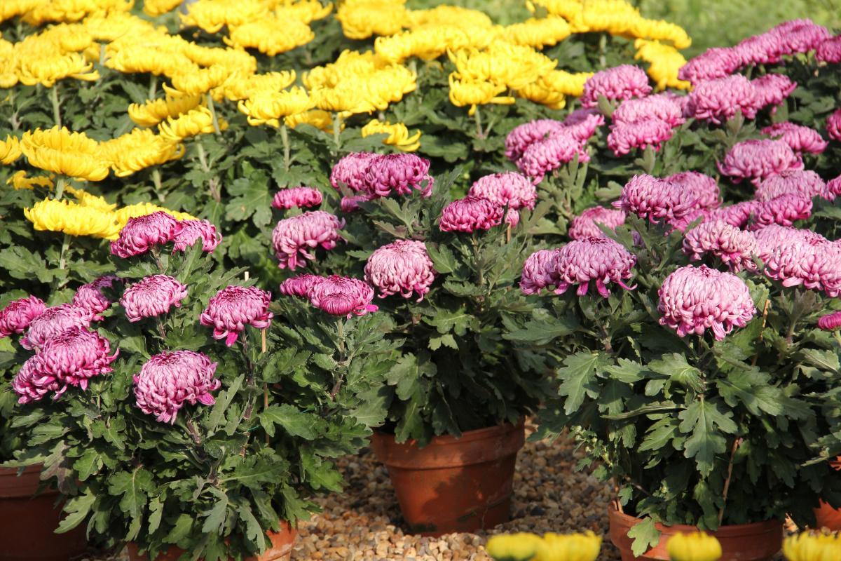 Chrysanthèmes Grosses Fleurs - Condamin EARL à Chasselay dans le Rhône (69)