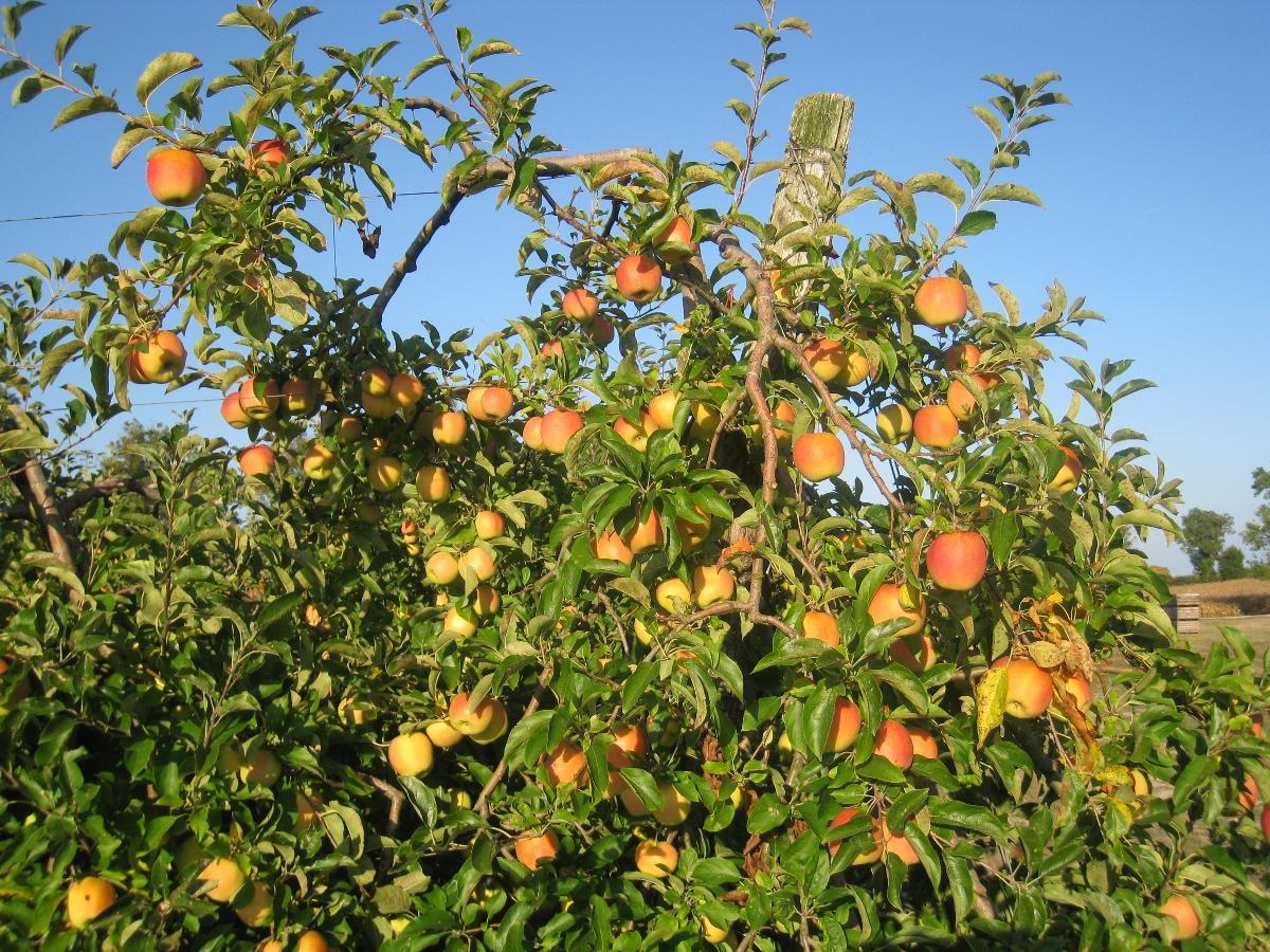 SARL Daudet Fruits, vergers agréés GlobalGap