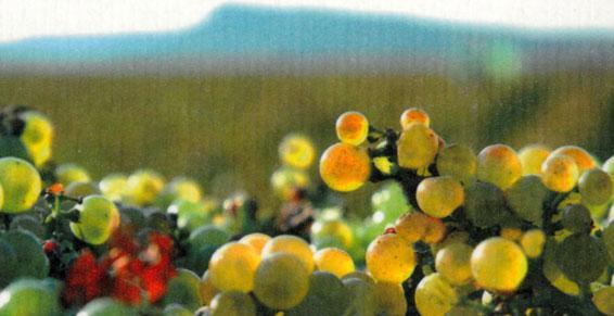 Producteur récoltant de vins - Fuissé