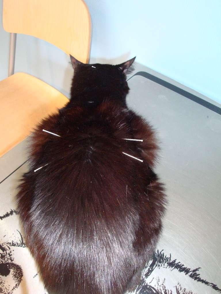 Séance d'acupuncture d'un chat - Cabinet vétérinaire  Paris 12ème